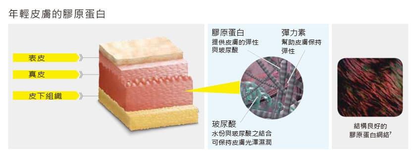 皮膚膠原蛋白分佈區